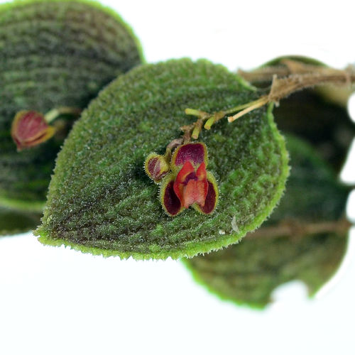 Lepanthes aculeata