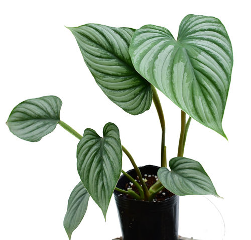 Philodendron mamei Silver